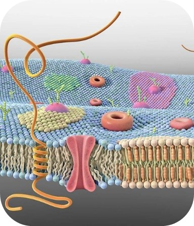 cross-section of a cell membrane